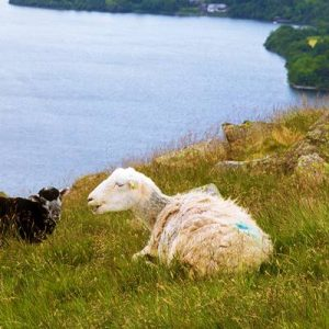 Black and white sheep  on mountain Ullswater Lake  District Cumb